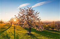 Blooming cherry trees on pasture land at sunrise, backlit, spring, St Pantaleon, Canton of Solothurn, Switzerland Stock Photo - Premium Royalty-Freenull, Code: 600-07992715