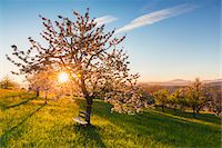 Blooming cherry trees on pasture land at sunrise, backlit, spring, St Pantaleon, Canton of Solothurn, Switzerland Stock Photo - Premium Royalty-Freenull, Code: 600-07992716