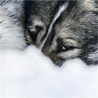 Dog in snow Stock Photo - Premium Royalty-Freenull, Code: 6102-08001312