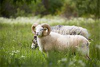 ram (animal) - Ram on meadow Stock Photo - Premium Royalty-Freenull, Code: 6102-08001318