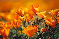 A naturalised crop of the vivid orange flowers, the California poppy, Eschscholzia californica, flowering, in the Antelope Valley California poppy reserve. Papaveraceae. Stock Photo - Premium Royalty-Freenull, Code: 6118-08001597
