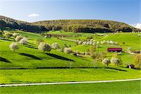 Cherry trees in bloom on pasture land next to farm, spring, Canton of Aargau, Switzerland Stock Photo - Premium Royalty-Freenull, Code: 600-08002033