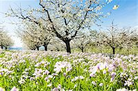 spring flowers - Cuckoo flower (Cardamine pratensis) and cherry trees in bloom in rows on pasture land, spring, Canton of Aargau, Switzerland Stock Photo - Premium Royalty-Freenull, Code: 600-08002037