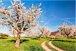 Blooming cherry trees on pasture land with tracks, spring, Canton of Basel-Landschaft, Switzerland