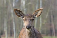 perception - Close-up portrait of Red deer (Cervus elaphus) in Early Spring, Female, Hesse, Germany Stock Photo - Premium Royalty-Freenull, Code: 600-08002578