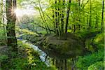 Beech tree (Fagus sylvatica) Forest and Brook in Spring, Hesse, Germany