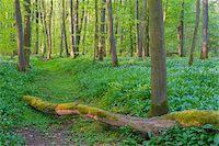 Beech tree (Fagus sylvatica) Forest with fallen tree and Ramson (Allium ursinum) in Spring, Hesse, Germany Stock Photo - Premium Royalty-Freenull, Code: 600-08002617