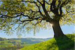 Old Oak Tree with sun and scenic view in Early Spring, Odenwald, Hesse, Germany