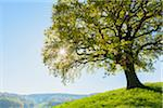 Old Oak Tree on hill with sun in Early Spring, Odenwald, Hesse, Germany