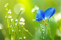 fantastically - Asiatic Dayflower Stock Photo - Premium Rights-Managednull, Code: 859-08008431