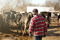 Rear view of boy herding cows in dairy farm yard Stock Photo - Premium Royalty-Freenull, Code: 614-08065932
