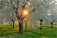 Sun through Cherry Trees Blossoming in Spring, Baden Wurttemberg, Black Forest (Schwarzwald), Germany Stock Photo - Premium Royalty-Freenull, Code: 600-08082956