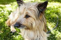 restrained - Close-up portrait of Carin terrier dog lying in grass in the backyard in summer, Abruzzo, Italy Stock Photo - Premium Rights-Managednull, Code: 700-08102719