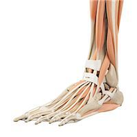 Human foot anatomy, computer illustration. Stock Photo - Premium Royalty-Freenull, Code: 679-08121206