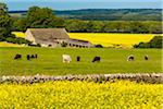 Canola fields and cows grazing, Gloucestershire, The Cotswolds, England, United Kingdom