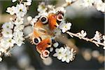 Close-up of a European Peacock butterfly (Aglais io) on a Blackthorn flower (Prunus spinosa) in spring, Upper Palatinate, Bavaria, Germany