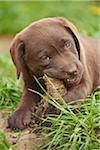 Close-up of Brown Labrador Retriever Puppy on Meadow in Spring, Bavaria, Germany