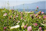 Flower Field with Clover in Summer, Carinthia, Austria