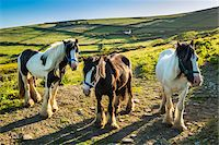 Horses at St Finian's Bay, along the Skellig Coast on the Ring of Kerry, County Kerry, Ireland Stock Photo - Premium Rights-Managednull, Code: 700-08146393
