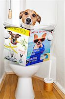 jack russell terrier, sitting on a toilet seat with digestion problems or constipation reading the gossip magazine or newspaper Stock Photo - Royalty-Freenull, Code: 400-08164464