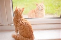 superior - Ginger tom cat looking out from windowsill whilst another ginger tom cat looks in Stock Photo - Premium Royalty-Freenull, Code: 649-08179913