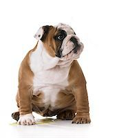 peeing puppy - housetraining a bulldog puppy - 3 months old Stock Photo - Royalty-Freenull, Code: 400-08186092