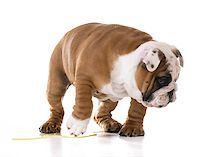 puppy peeing - bulldog puppy peeing isolated on white background Stock Photo - Royalty-Freenull, Code: 400-08187931