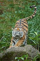 Close-up of a Siberian tiger (Panthera tigris altaica) stretching, in late summer, Germany Stock Photo - Premium Rights-Managednull, Code: 700-08209946