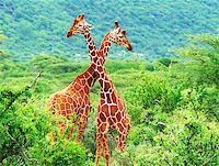 people mating - Fight of two giraffes. Africa. Kenya. Samburu national park. Stock Photo - Royalty-Freenull, Code: 400-08222886