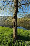 Blooming Cherry Tree at the River Main, Faulbach, Churfranken, Spessart, Miltenberg-District, Bavaria, Germany