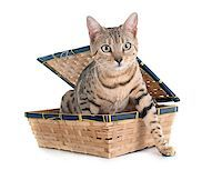 silver box - bengal cat silver in front of white background Stock Photo - Royalty-Freenull, Code: 400-08253884