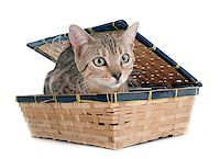 silver box - bengal cat silver in front of white background Stock Photo - Royalty-Freenull, Code: 400-08253885