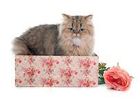 silver box - persian cat in front of white background Stock Photo - Royalty-Freenull, Code: 400-08254272