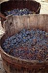Harvested red wine grapes in a wooden vat