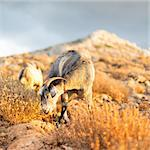 Domestic goat in mountains on Greek Mediterranean island Crete. Dramatic warm light and weather before the sunset.