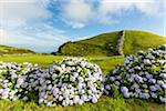 Blooming Hortensia walls in front of  agricultural landscape with smooth green hills, Reserva Florestal Natural Parcial do Pico das Caldeirinhas, Sao Jorge Island, Azores, Portugal