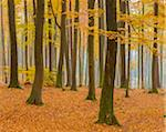 Beech Tree Forest in Autumn, Spessart, Bavaria, Germany