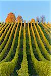 Colorful Vineyards in Autumn, Volkach, Maininsel, Alte Mainschleife, Mainfranken, Franconia, Bavaria, Germany