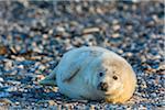 Sunlight shining on grey seal pup (Halichoerus grypus) lying on rocky beach in Europe