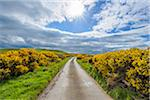 Sun over fields and road through countryside in springtime lined with common gorse in Scotland, United Kingdom
