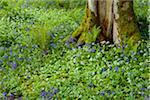 Beech tree with bear's garlic and bluebells near Armadale on the Isle of Skye in Scotland, United Kingdom