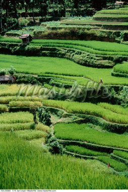 Huts on Terraced Rice Paddies Bali, Indonesia    Stock Photo - Premium Rights-Managed, Artist: R. Ian Lloyd, Code: 700-00029386