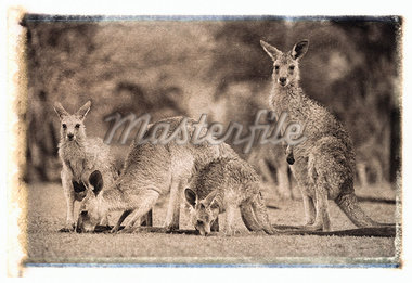 Four Kangaroos in Field Queensland, Australia    Stock Photo - Premium Royalty-Free, Artist: Daryl Benson, Code: 600-00053669