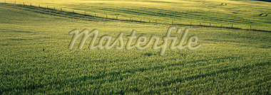 Barley Field, Crossfield, Alberta, Canada    Stock Photo - Premium Royalty-Free, Artist: Roy Ooms, Code: 600-00067244