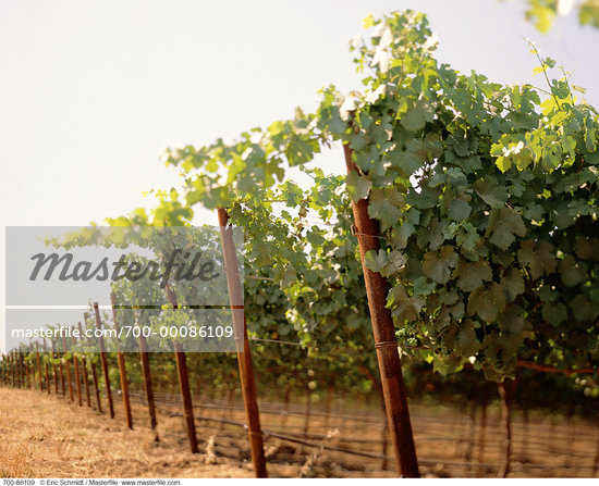 Vineyard Napa Valley, California, USA    Stock Photo - Premium Rights-Managed, Artist: Eric Schmidt, Code: 700-00086109