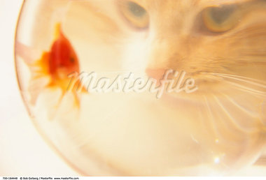 Cat Looking at Goldfish in Fishbowl    Stock Photo - Premium Rights-Managed, Artist: Bob Gelberg, Code: 700-00164448