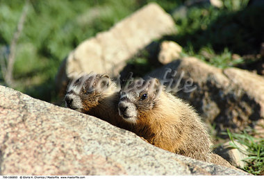Yellow-Bellied Marmots    Stock Photo - Premium Rights-Managed, Artist: Gloria H. Chomica, Code: 700-00166893