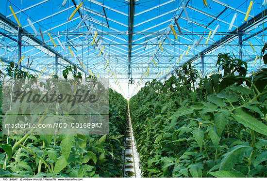 Greenhouse Tomato Farming