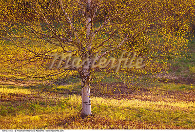 Birch Tree    Stock Photo - Premium Rights-Managed, Artist: Freeman Patterson, Code: 700-00371851