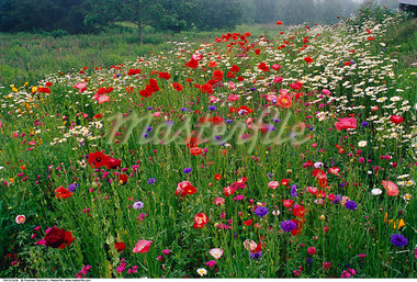 Wildflowers in Meadow, Shamper's Bluff, New Brunswick, Canada    Stock Photo - Premium Rights-Managed, Artist: Freeman Patterson, Code: 700-00515436